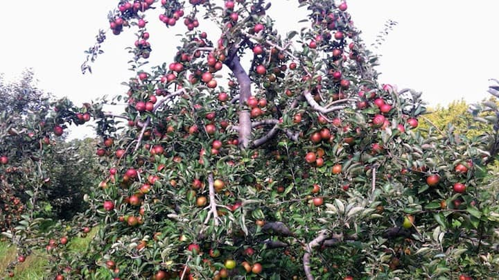 apple orchard tree full of apples - featured image can you eat apples on paleo article